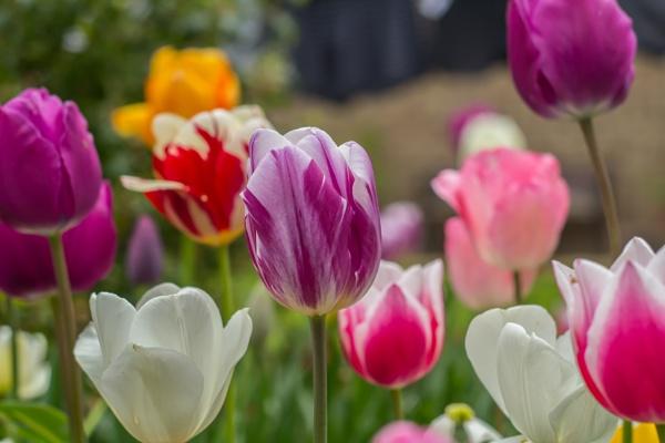 tulips in back garden by jimlad