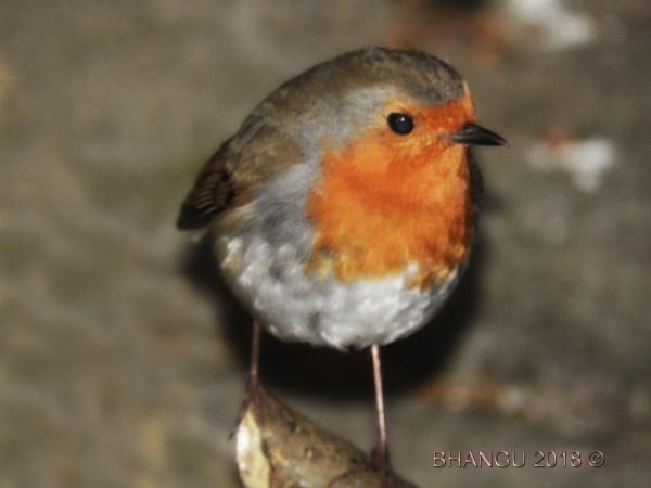 Robin by Jat_Riski