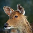 Deer by peterthowe