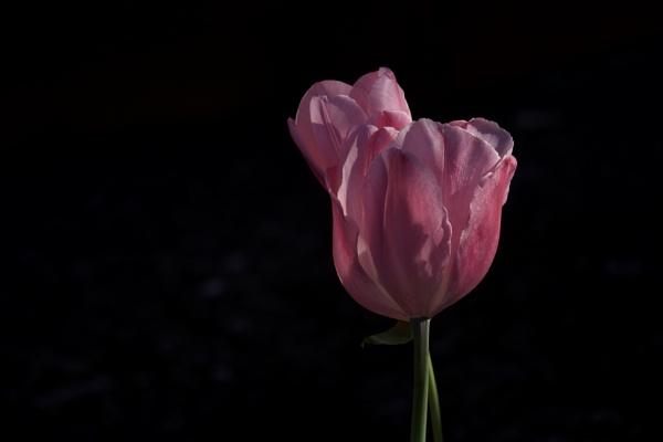 Pink Tulip by Daisymaye