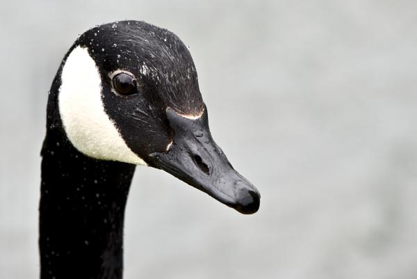 goose by Mannyfreedman