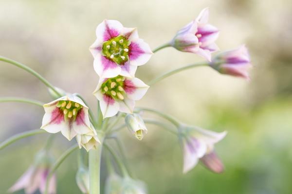 Nectaroscordum by MandyD