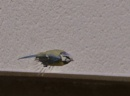 blue tit on a mission by sparrowhawk