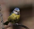 blue tit by sparrowhawk