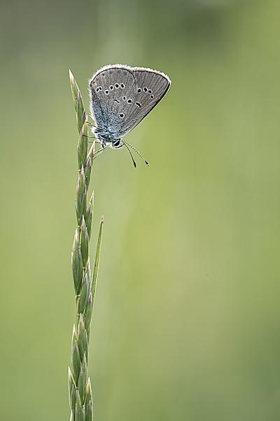 Mazarine Blue (Polyommatus semiargus) by olafo