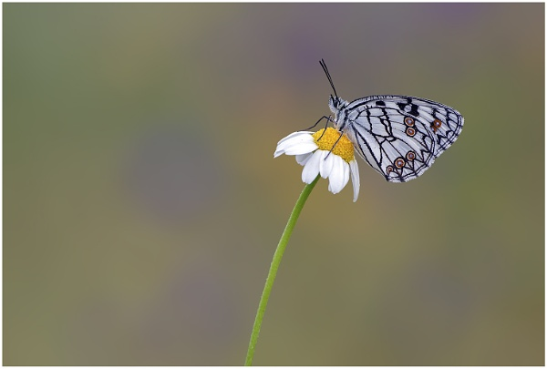 Spanish Marbled White - Melanargia Ines. by NigelKiteley