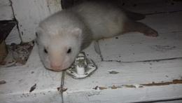 Baby Ferret 5 weeks old.