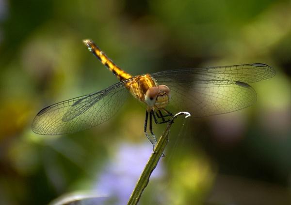Dragonfly by jbsaladino
