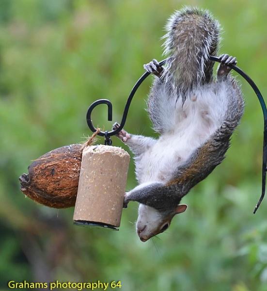 Acrobatic Grey Squirrel by p147180r