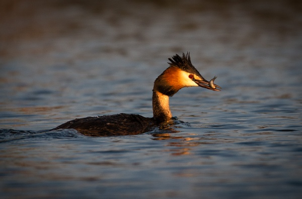 Grebe With Catch by BydoR9