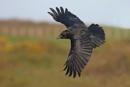 Crow by jm1