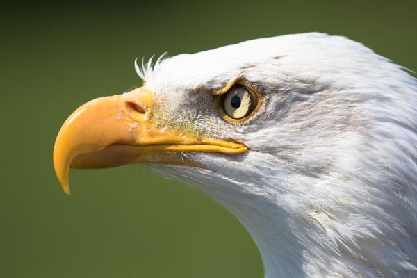 Bald eagle headshot by Trekmaster01