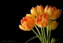Orange & gold Tulips