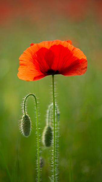 Field Poppy by flowerpower59