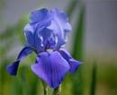 Grape Iris by taggart