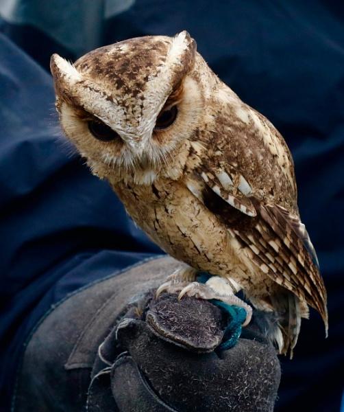Indian Scops-Owl (Otus bakkamoena) by Lencollard