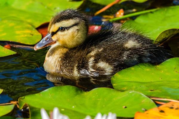 Cute Baby Duck by aldasack1957