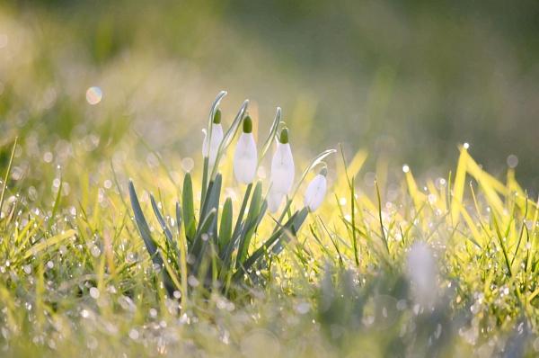 Snowdrops by Gillken