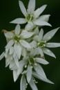 Wild Garlic by IreneClarke
