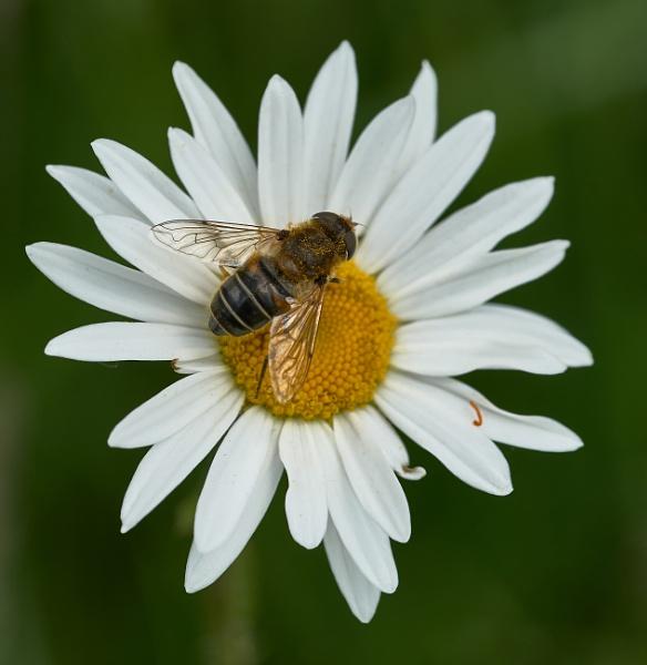 Daisy Bee by JJGEE