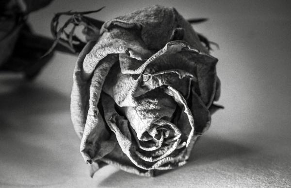 Textured rose by KrazyKA