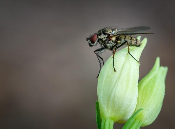 Flesh fly by falsecast