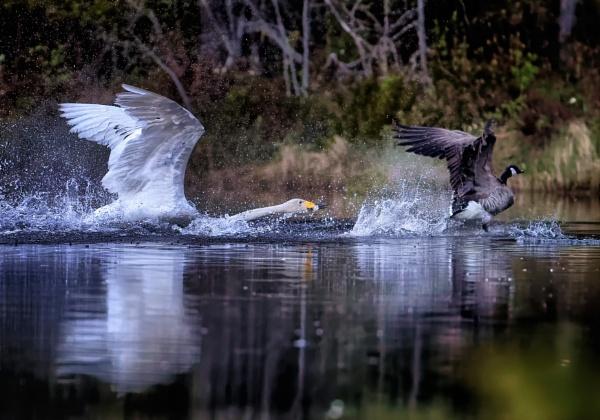 Wooper Swan in Luukki by hannukon