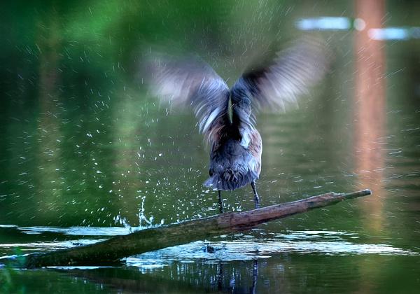 Eurasian wigeon in Luukki