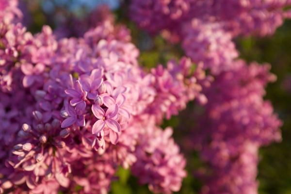 Lila en fleurs by matkaspa