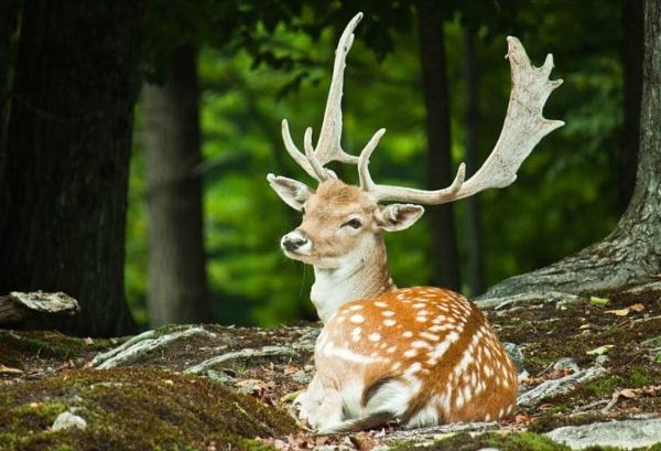 Fallow deer by Glenn1487