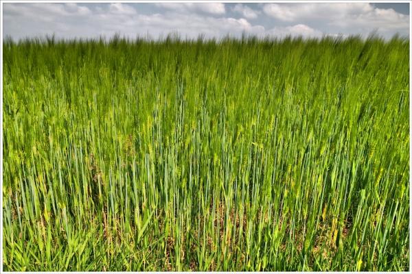 Field Of Barley - 2 by kw