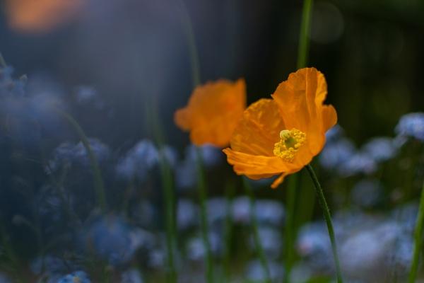 Poppy by Ju_nog