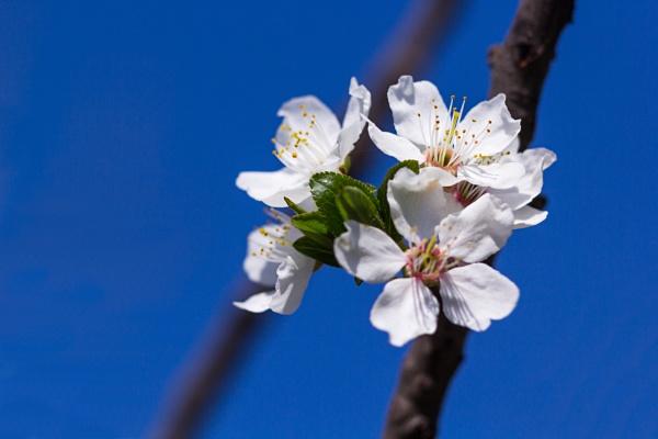 Cherry flowers on blue sky. by byman