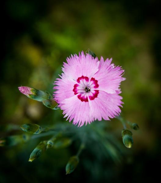 Dianthus by WioletaJ