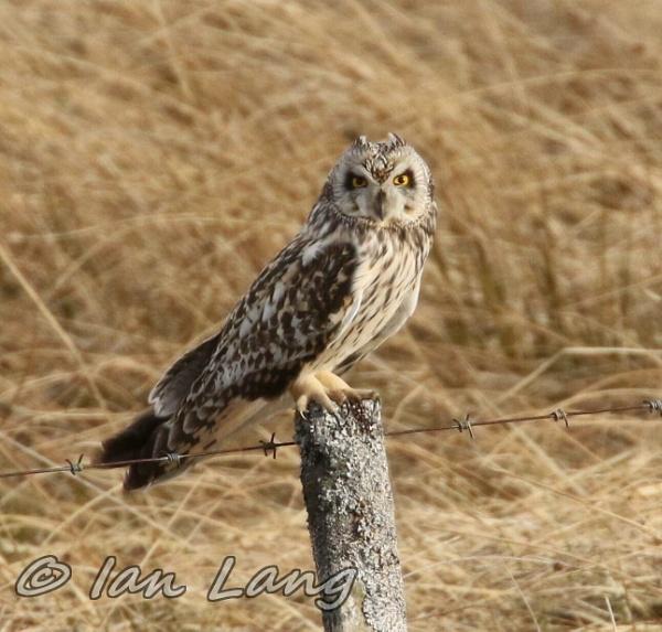 Short eared owl by Denzoil
