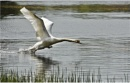 Swan Aggression by MalcolmM