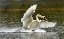 Swan Aggression 2 by MalcolmM