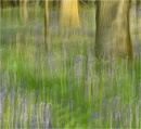 Bluebell Wood ICM by MalcolmM