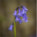 In the Bluebell Wood by MalcolmM