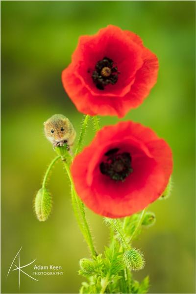 Harvest Mouse on Poppy by sherlob