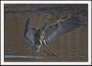Grey Heron by Maiwand