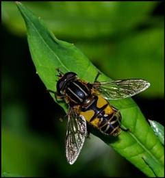 Sun Fly - Heliophilus pendulas..