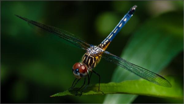 Flying Jewel by GeorgeP