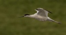 Avocet by Mike_Smith