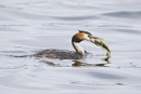great crested grebe with fish by colin beeley
