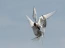 squabbling terns by NEWMANP