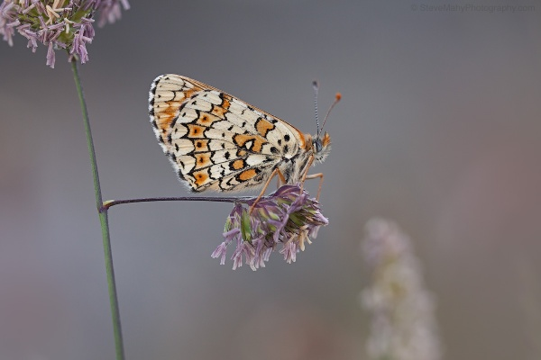Glanville Fritillary by SWMahy