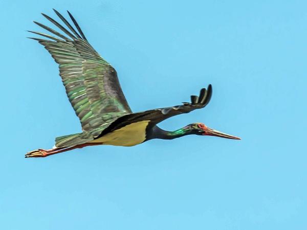 Black Stork by delboy85