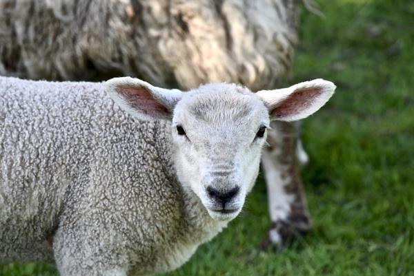 spring lamb by Mannyfreedman