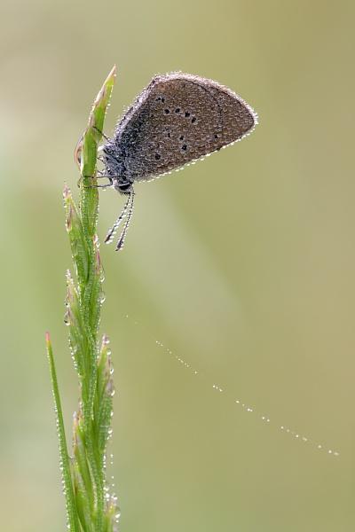 Mazarine Blue (Polyommatus semiargus) with dew by olafo